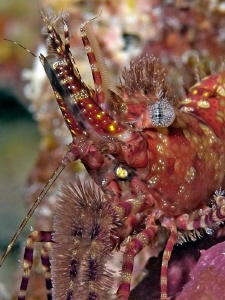 """Portrait Of A Marbled Shrimp""